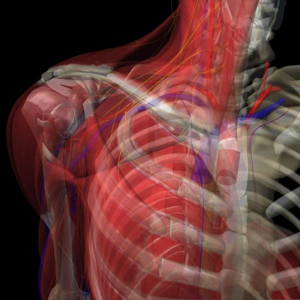 内側胸筋神経